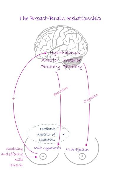 physiology diagram apr17